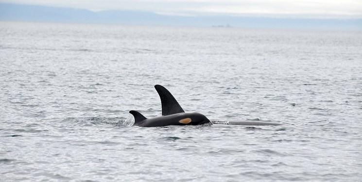 خوشحالی دانشمندان از تولد نوزاد نهنگ در حال انقراض