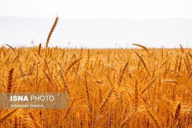 افزایش سه برابری خرید تضمینی گندم در سیستان وبلوچستان