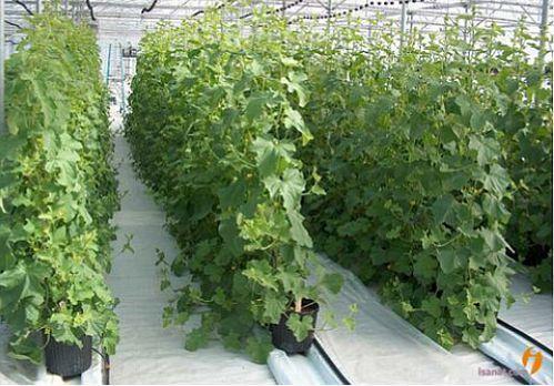 پرداخت988میلیاردریال تسهیلات گلخانه توسط بانک کشاورزی